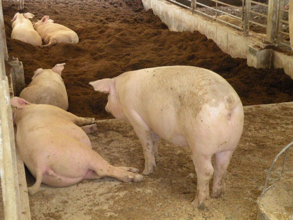 土井農場さんの豚さんたち。まるまる太っているのがわかります。