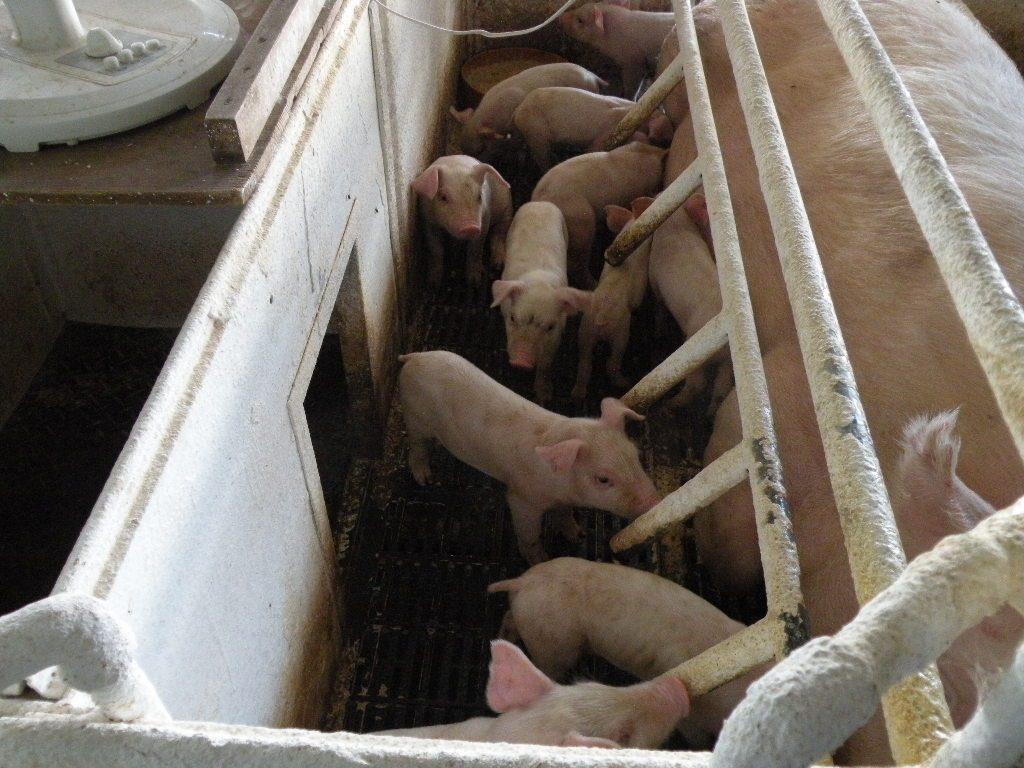 親豚が倒れて子豚がつぶされないようにしています。|土井農場