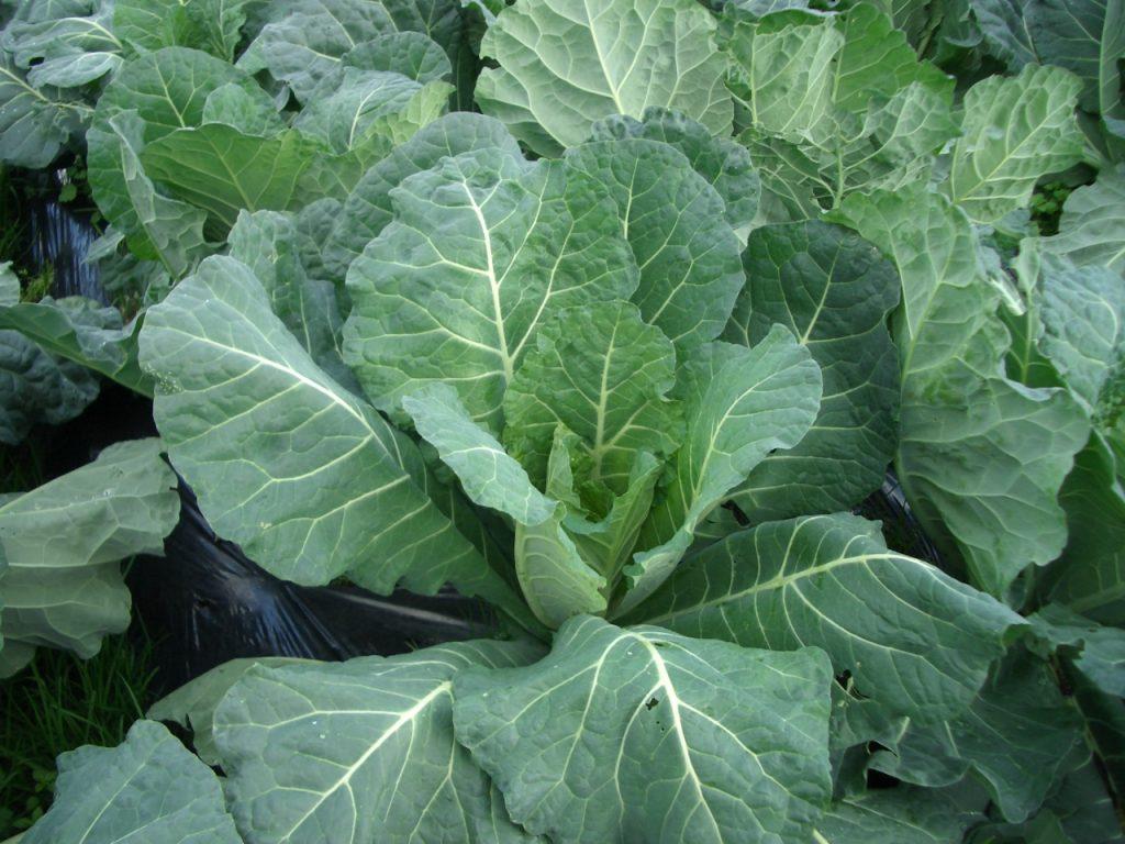 ケール(Kale)|ルテインを含む野菜