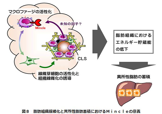 脂肪組織線維化と異所性脂肪蓄積におけるMincleの意義