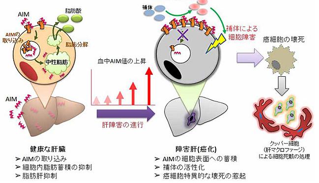 【たけしの家庭の医学】スーパー健康長寿物質「AIM」の効果|メタボのブレーキ「AIM」に肝臓がんを抑制する働きを発見|AIMで急性腎不全(AKI)を治療|中性脂肪を溶かす【論文・エビデンス】