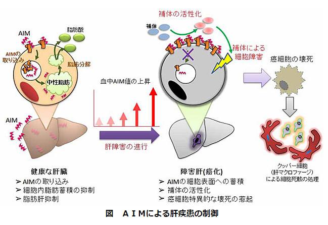 AIMによる肝疾患の制御