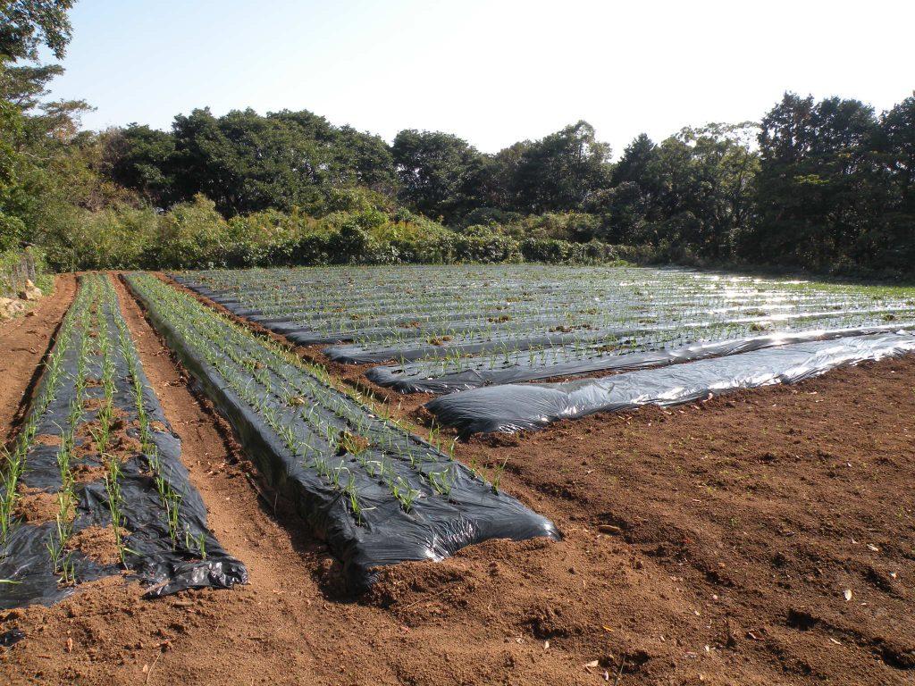 有機栽培の畑