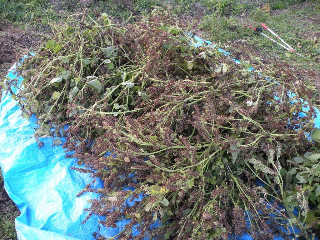 枝ごとカットしたえごまからどれくらいの量が収穫できるのか楽しみです!