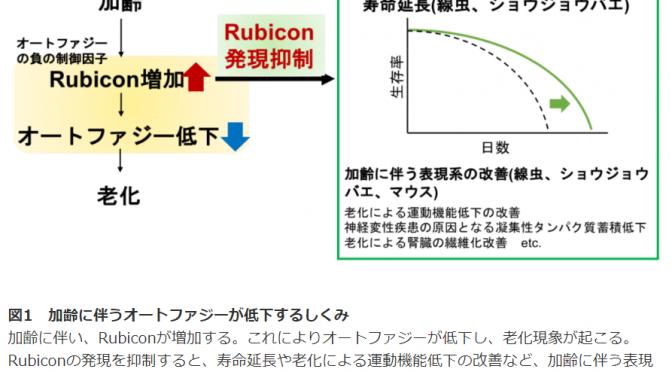 ルビコンが増加するとオートファジーが低下し老化する!ルビコンの抑制による健康寿命延伸に期待!|大阪大学