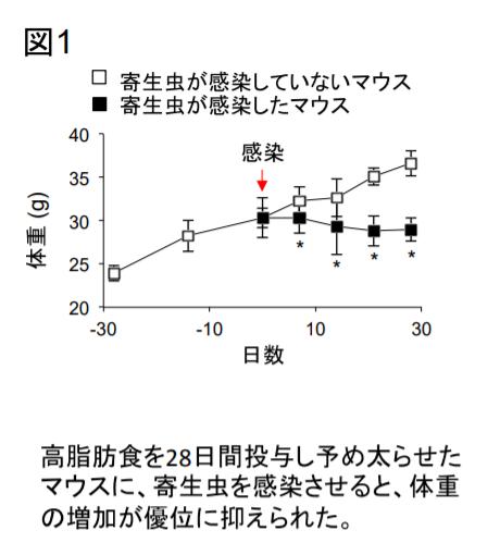 太らせたマウスに寄生虫を感染させると、感染していないマウスと比べて、体重の増加が有意に抑えられた。