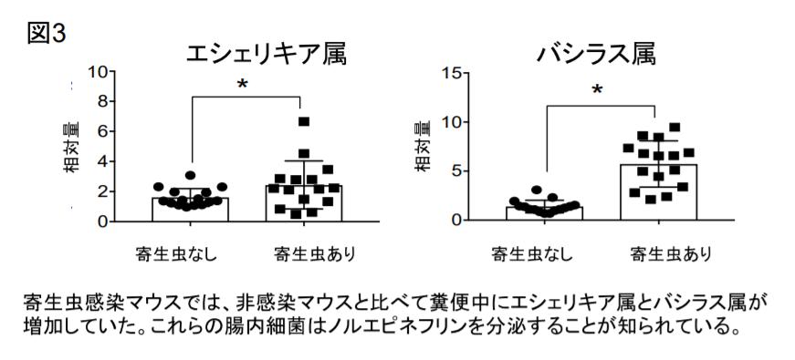 寄生虫マウスではノルエピネフリンを分泌することで知らせる腸内細菌であるエシェリキア属とバシラス属が増加。