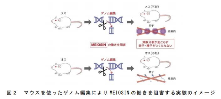 マウスを使ったゲノム編集により MEIOSIN の働きを阻害する実験のイメージ|熊本大学