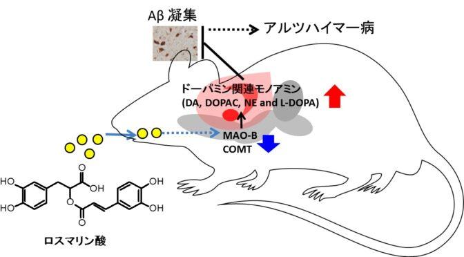 ロスマリン酸の摂取によりモノアミンの濃度が上昇しアミロイドβ凝集を抑制することからアルツハイマー病予防に期待